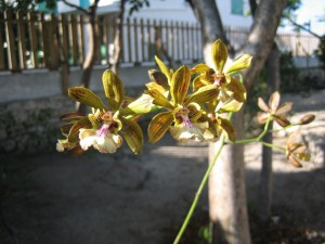 Rescued Orchid blooming in the TCNM garden.