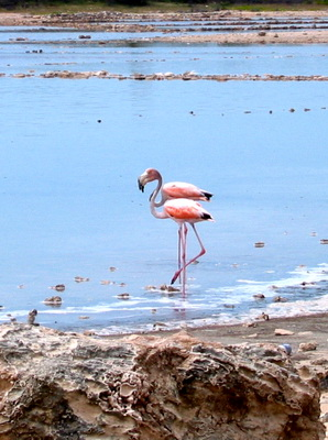 Flamingos wading in the pond on Grand Turk.